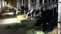 Economica: Ferma de vaci