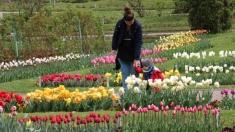 """În Grădina Botanică din Cluj se cântă """"Simfonia lalelelor"""""""
