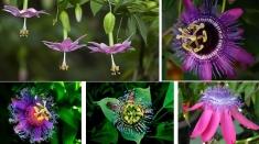 """La """"Natură şi sănătate"""" aflăm beneficiile florii Patimile lui Hristos"""