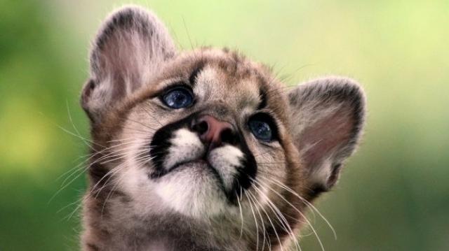 (w640) Puma