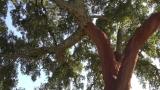 Copac pluta