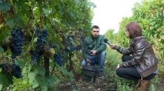 Revigorarea plantațiilor viticole din Oltenia