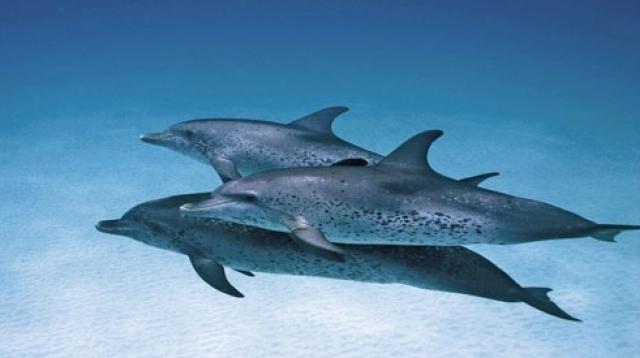 Delfinii