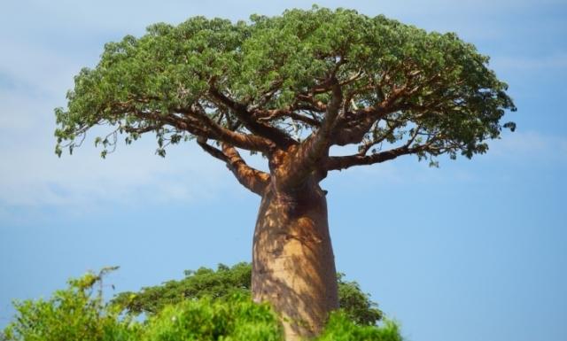 (w640) baobabul