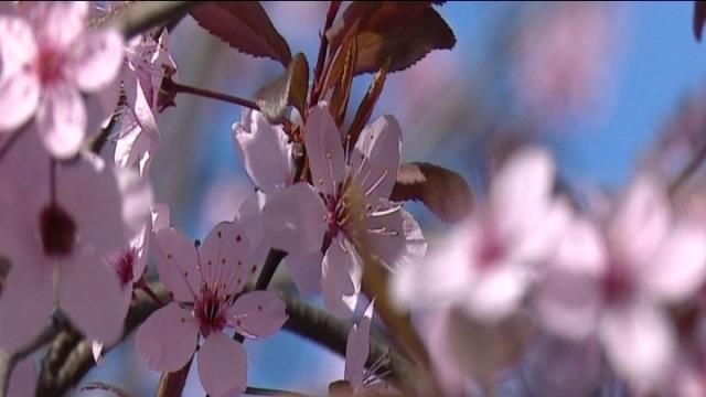 Flori de zarzare