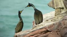Despre cormorani, templieri şi inventatori, la