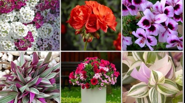 (w640) flori colo
