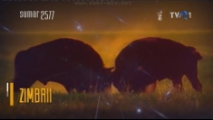 Animale pe cale de dispariţie: zimbrul, sâmbătă la Teleenciclopedia
