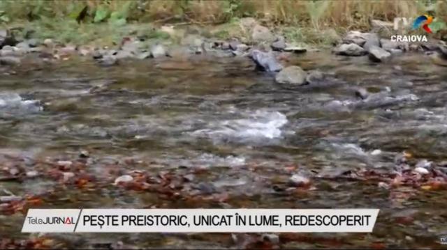 Aspretele, peştele contemporan cu dinozaurii, trăiește pe Valea Vâlsanului | VIDEO