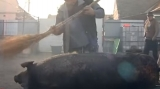 Pomana porcului la Racovița | VIDEO