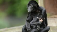 Teleenciclopedia: Lumea maimuțelor-păianjen | VIDEO