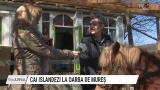 Cai islandezi la Oarba de Mureș | VIDEO