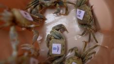 """Crabii-fantomă intră în arenă la """"Microbist de România""""!   VIDEO"""