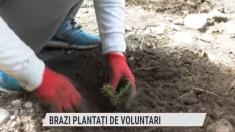 Brazi plantați de voluntari | VIDEO