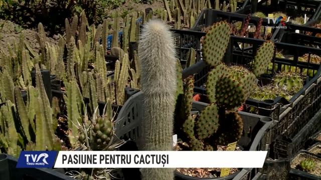 CACTUSI MURES