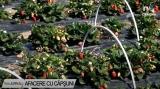 Afacere cu capșuni | VIDEO