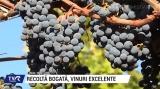 Recolta bogată, vinuri excelente   VIDEO